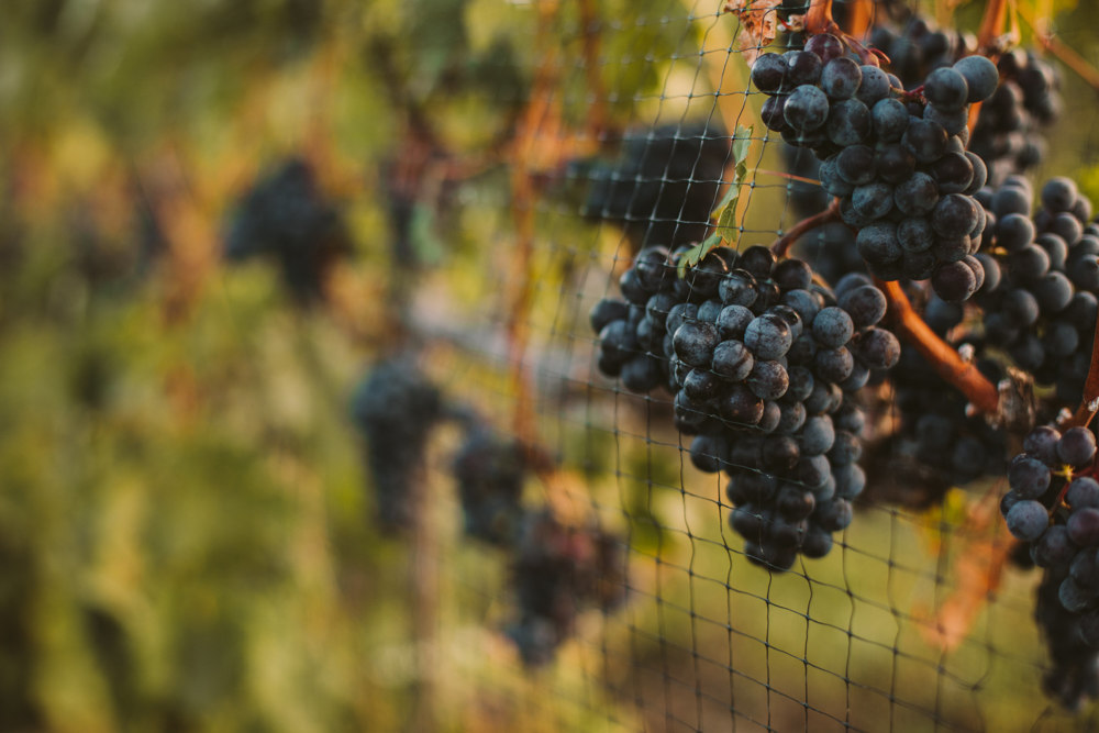 wine grapes at aurora cellars vineyards