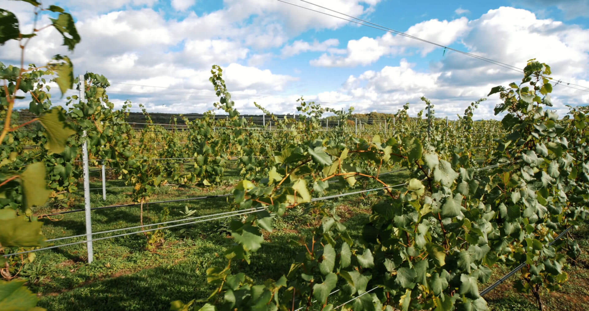Northern Michigan Vineyard