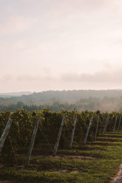 beautiful vineyards at aurora cellars
